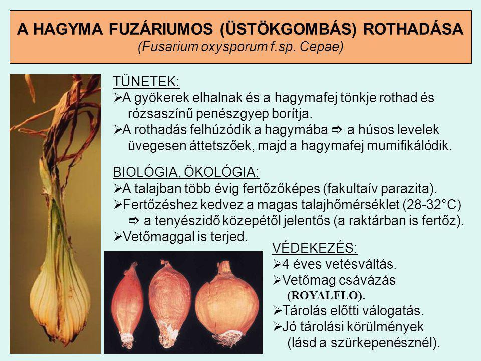 A HAGYMA FUZÁRIUMOS (ÜSTÖKGOMBÁS) ROTHADÁSA (Fusarium oxysporum f.sp. Cepae) TÜNETEK:  A gyökerek elhalnak és a hagymafej tönkje rothad és rózsaszínű