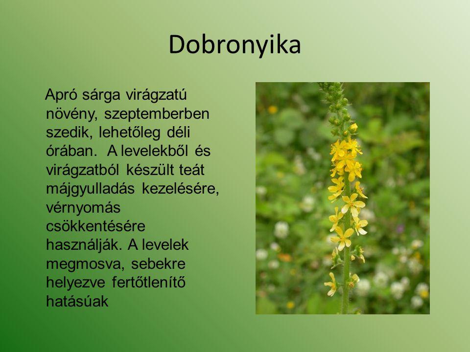 Dobronyika Apró sárga virágzatú növény, szeptemberben szedik, lehetőleg déli órában. A levelekből és virágzatból készült teát májgyulladás kezelésére,