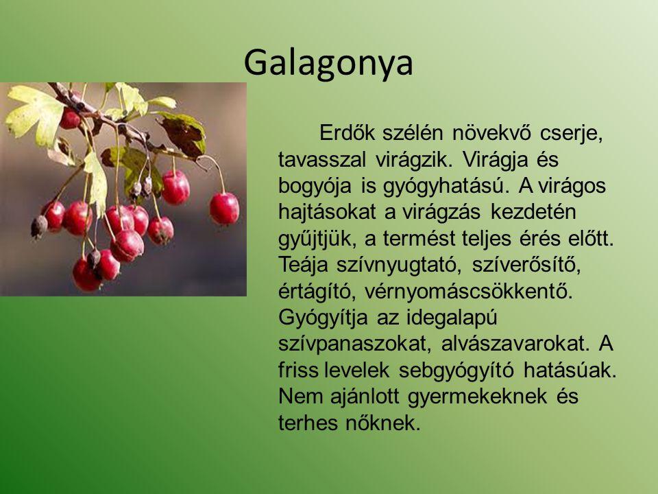 Galagonya Erdők szélén növekvő cserje, tavasszal virágzik. Virágja és bogyója is gyógyhatású. A virágos hajtásokat a virágzás kezdetén gyűjtjük, a ter