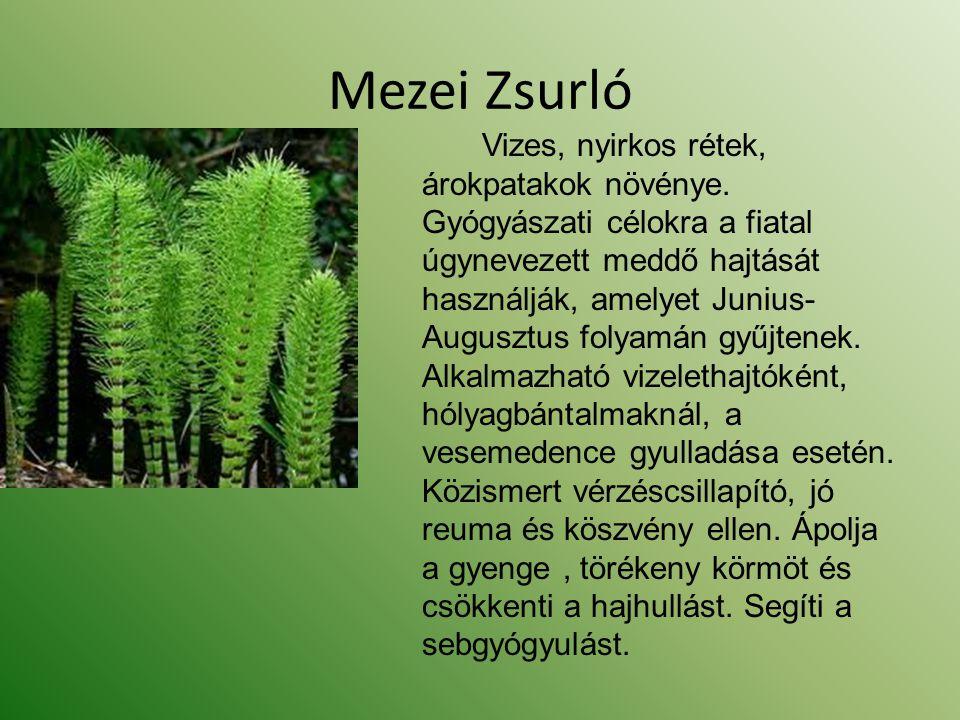 Mezei Zsurló Vizes, nyirkos rétek, árokpatakok növénye. Gyógyászati célokra a fiatal úgynevezett meddő hajtását használják, amelyet Junius- Augusztus