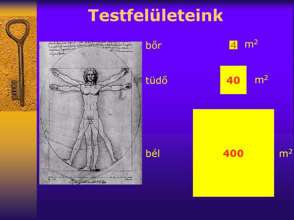 Testfelületeink 4 40 400 bőr tüdő bél m2m2 m2m2 m2m2