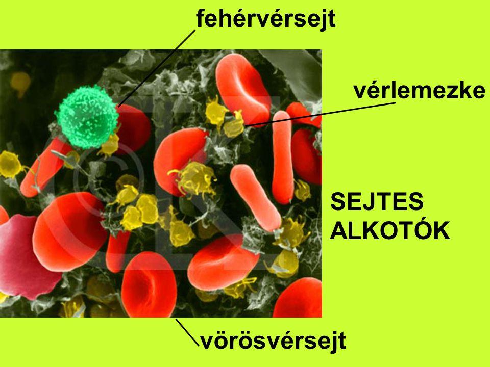 fehérvérsejt vörösvérsejt vérlemezke SEJTES ALKOTÓK
