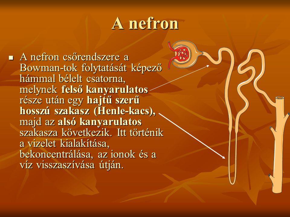 A nefron  A nefron csőrendszere a Bowman-tok folytatását képező hámmal bélelt csatorna, melynek felső kanyarulatos része után egy hajtű szerű hosszú