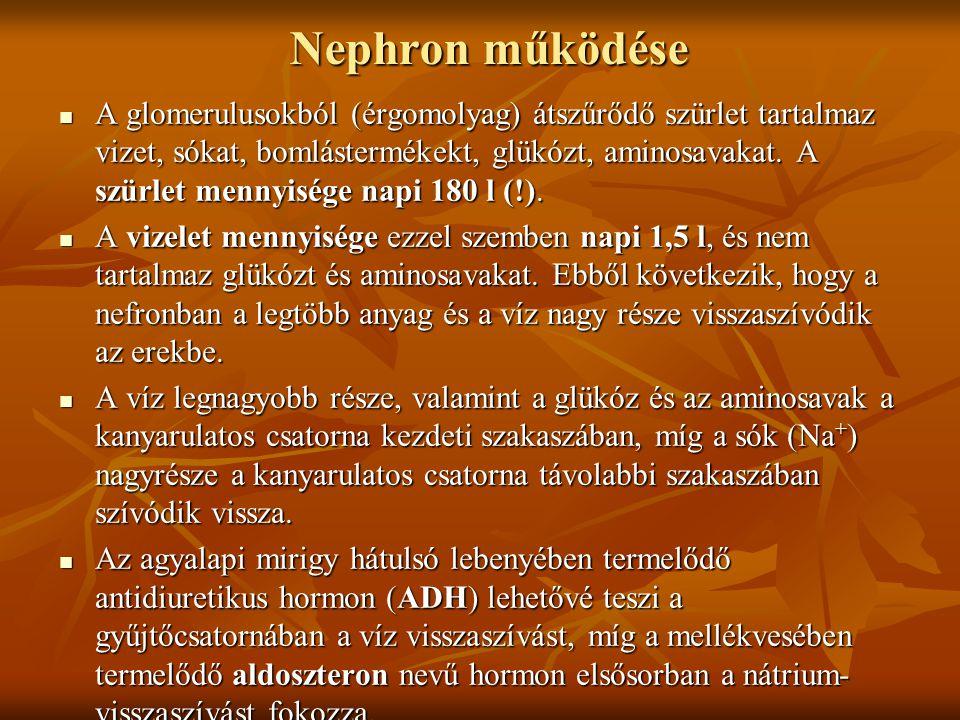 Nephron működése  A glomerulusokból (érgomolyag) átszűrődő szürlet tartalmaz vizet, sókat, bomlástermékekt, glükózt, aminosavakat. A szürlet mennyisé