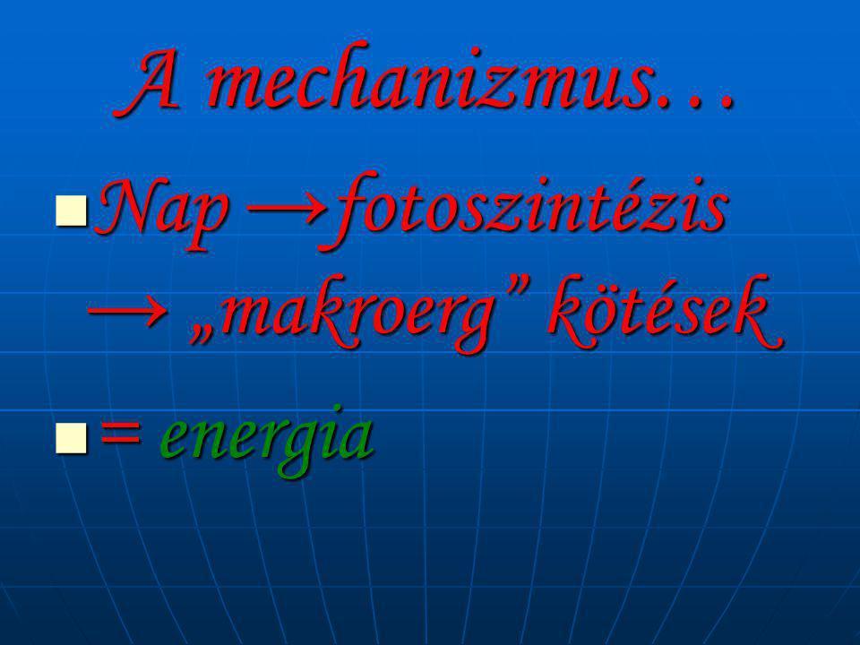 """A mechanizmus…  Nap →fotoszintézis → """"makroerg"""" kötések  = energia"""