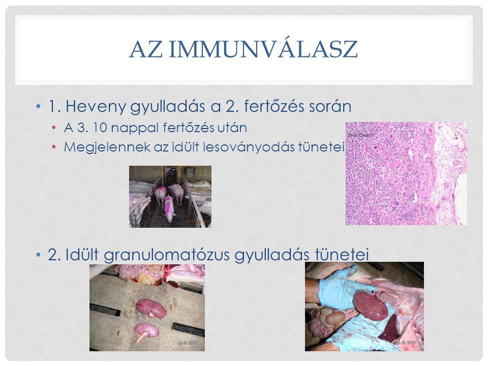 AZ IMMUNVÁLASZ • 1. Heveny gyulladás a 2. fertőzés során • A 3. 10 nappal fertőzés után • Megjelennek az idült lesoványodás tünetei • 2. Idült granulo