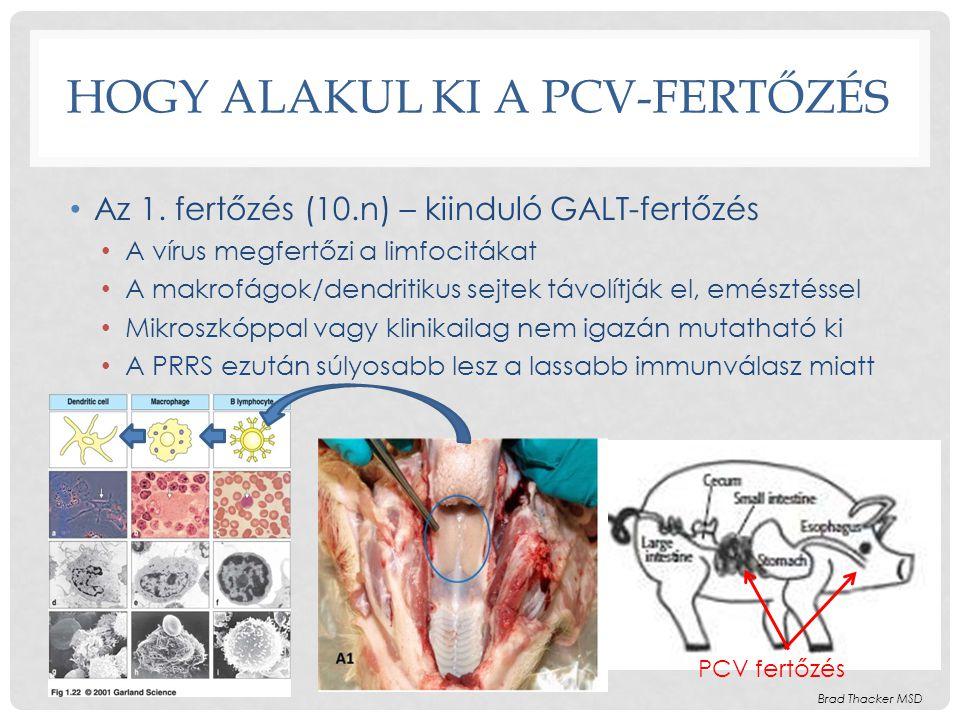 HOGY ALAKUL KI A PCV-FERTŐZÉS • Az 1. fertőzés (10.n) – kiinduló GALT-fertőzés • A vírus megfertőzi a limfocitákat • A makrofágok/dendritikus sejtek t