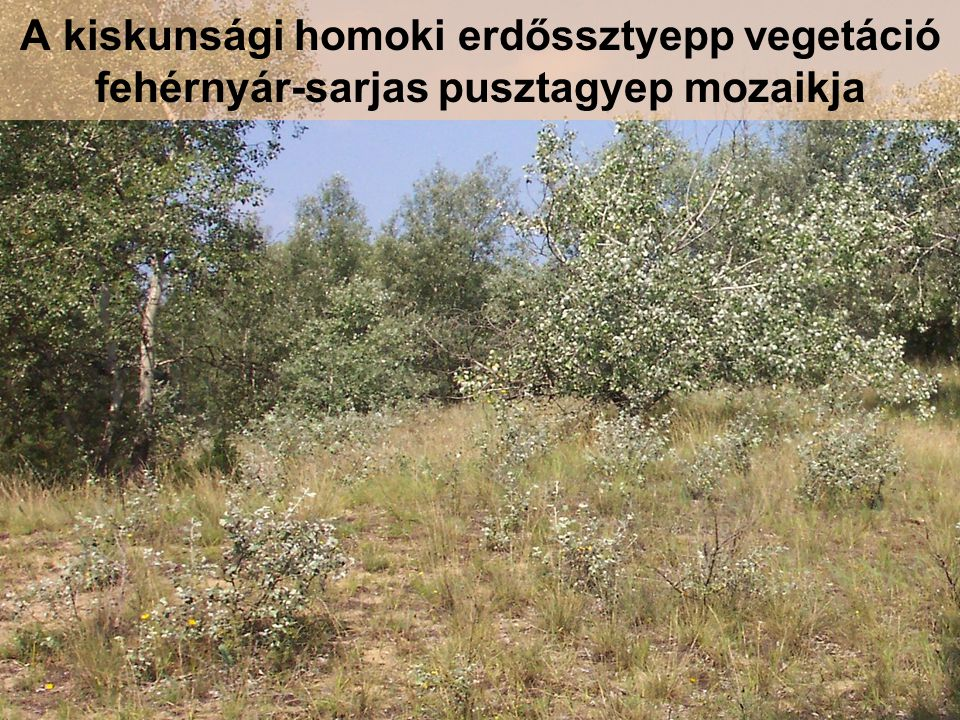 A kiskunsági homoki erdőssztyepp vegetáció fehérnyár-sarjas pusztagyep mozaikja
