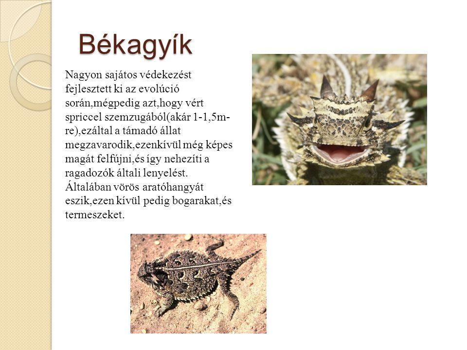 Békagyík Nagyon sajátos védekezést fejlesztett ki az evolúció során,mégpedig azt,hogy vért spriccel szemzugából(akár 1-1,5m- re),ezáltal a támadó állat megzavarodik,ezenkívül még képes magát felfújni,és így nehezíti a ragadozók általi lenyelést.