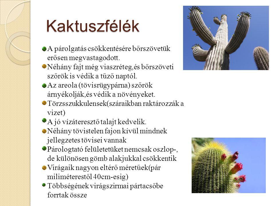 Kaktuszfélék A párolgatás csökkentésére bőrszövetük erősen megvastagodott.