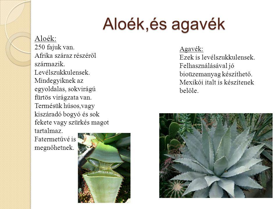 Aloék,és agavék Aloék: 250 fajuk van.Afrika száraz részéről származik.