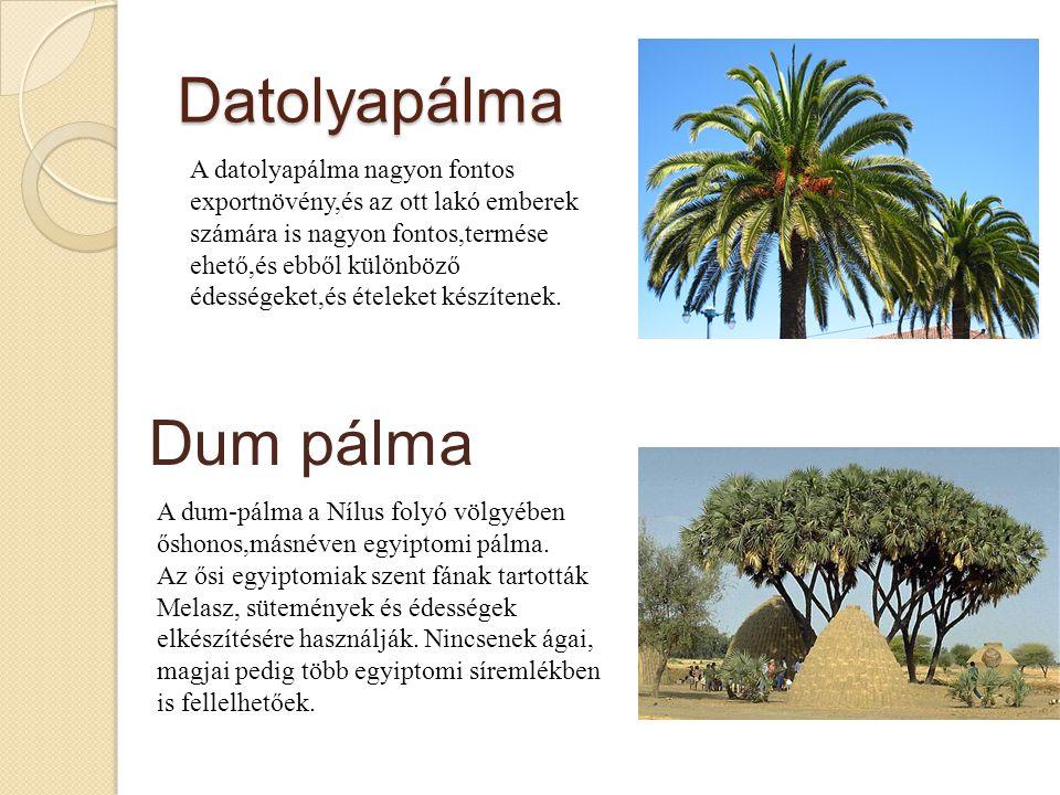 Datolyapálma Dum pálma A datolyapálma nagyon fontos exportnövény,és az ott lakó emberek számára is nagyon fontos,termése ehető,és ebből különböző édességeket,és ételeket készítenek.