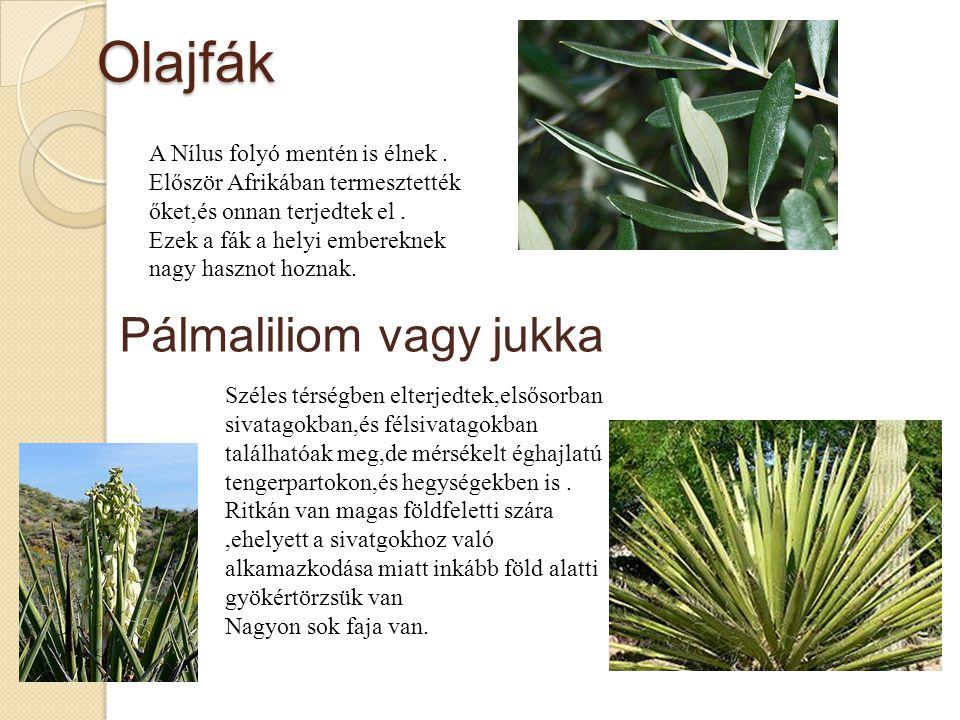 Olajfák A Nílus folyó mentén is élnek.Először Afrikában termesztették őket,és onnan terjedtek el.