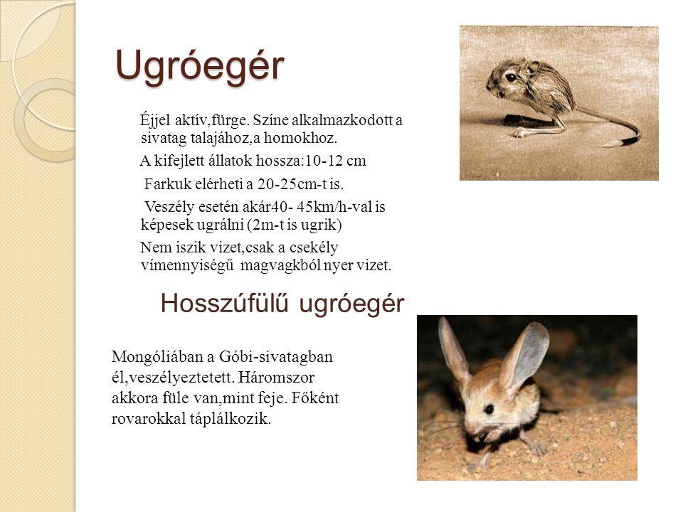 Ugróegér Hosszúfülű ugróegér Mongóliában a Góbi-sivatagban él,veszélyeztetett.