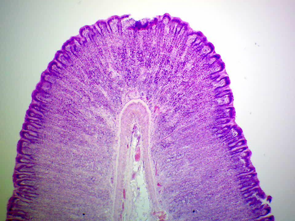 Felszívódás Emésztés végén következik be, főleg a középbél hámján keresztül. Vérbe kerül: monoszacharidok, aminosavak, ionok Nyirokba kerül: glicerins