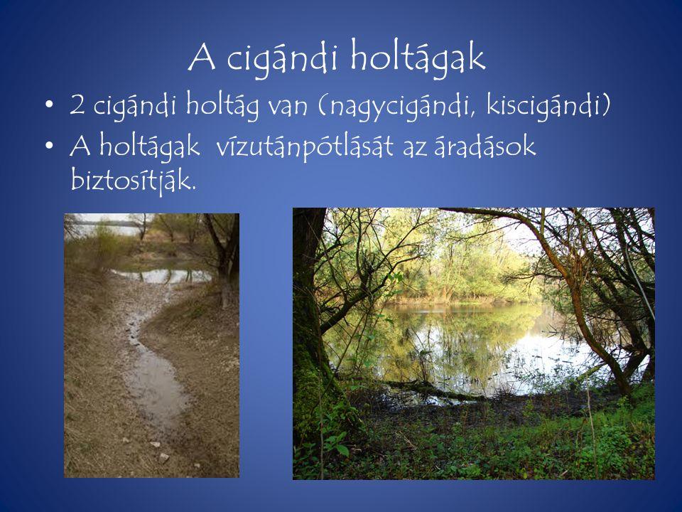 A cigándi holtágak • 2 cigándi holtág van (nagycigándi, kiscigándi) • A holtágak vízutánpótlását az áradások biztosítják.