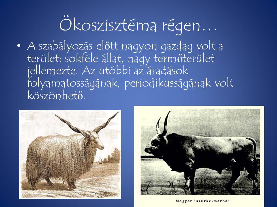 Ökoszisztéma régen… • A szabályozás el ő tt nagyon gazdag volt a terület: sokféle állat, nagy term ő terület jellemezte. Az utóbbi az áradások folyama