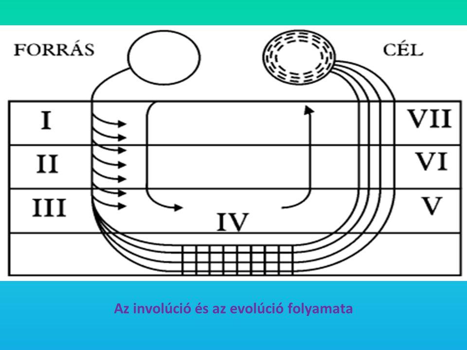 Az involúció és az evolúció folyamata