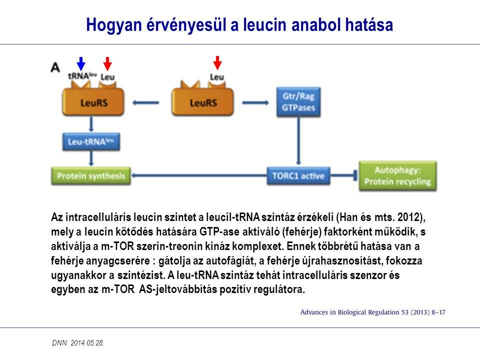 Hogyan érvényesül a leucin anabol hatása Az intracelluláris leucin szintet a leucil-tRNA szintáz érzékeli (Han és mts.