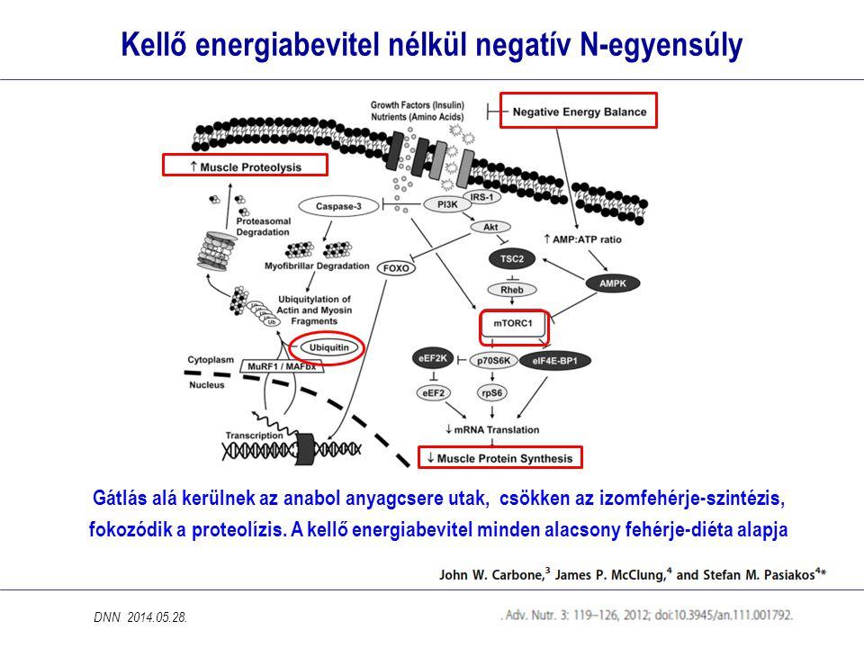 Kellő energiabevitel nélkül negatív N-egyensúly Gátlás alá kerülnek az anabol anyagcsere utak, csökken az izomfehérje-szintézis, fokozódik a proteolízis.