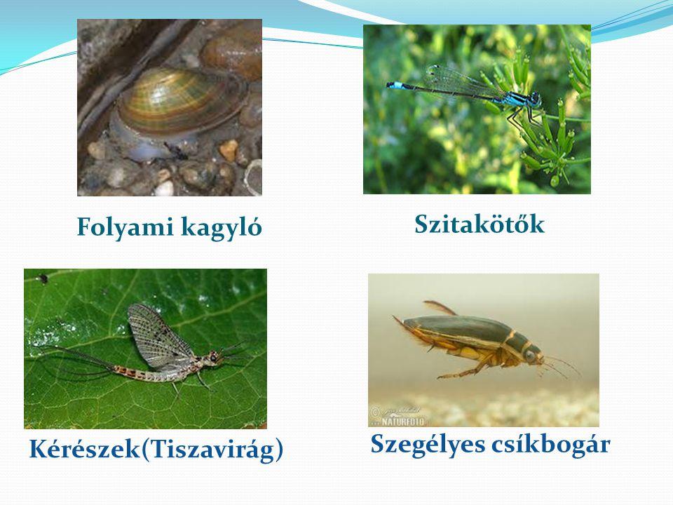 Folyami kagyló Szitakötők Kérészek(Tiszavirág) Szegélyes csíkbogár