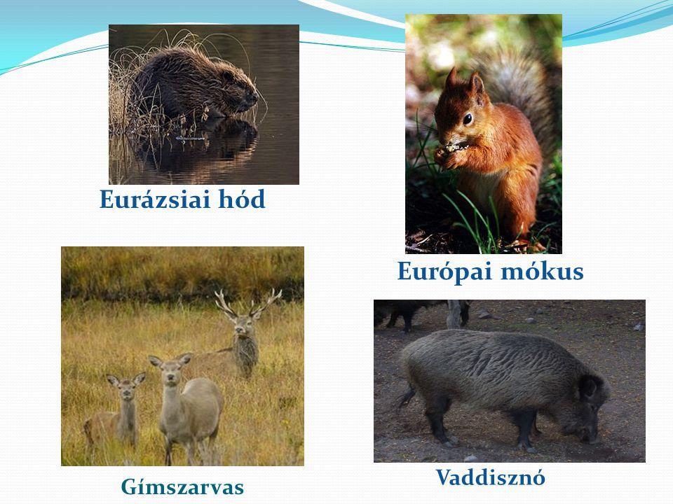 Gímszarvas Európai mókus Eurázsiai hód Vaddisznó