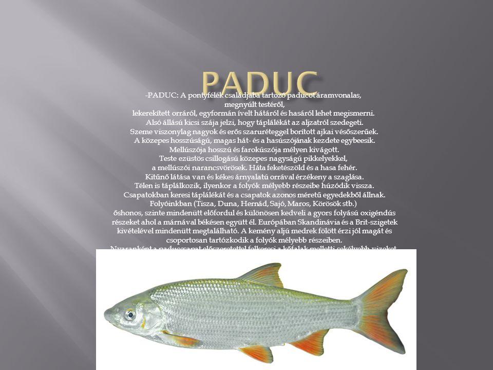 -PADUC: A pontyfélék családjába tartozó paducot áramvonalas, megnyúlt testéről, lekerekített orráról, egyformán ívelt hátáról és hasáról lehet megismerni.