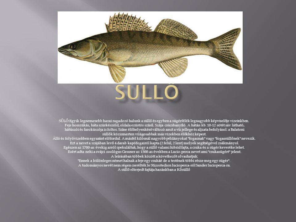 SŰLŐ:Egyik legnemesebb hazai ragadozó halunk a süllő és egyben a sügérfélék legnagyobb képviselője vizeinkben.