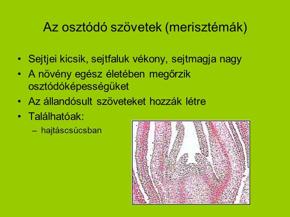 Az osztódó szövetek (merisztémák) •Sejtjei kicsik, sejtfaluk vékony, sejtmagja nagy •A növény egész életében megőrzik osztódóképességüket •Az állandós