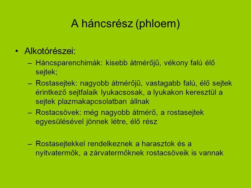 A háncsrész (phloem) •Alkotórészei: –Háncsparenchimák: kisebb átmérőjű, vékony falú élő sejtek; –Rostasejtek: nagyobb átmérőjű, vastagabb falú, élő se
