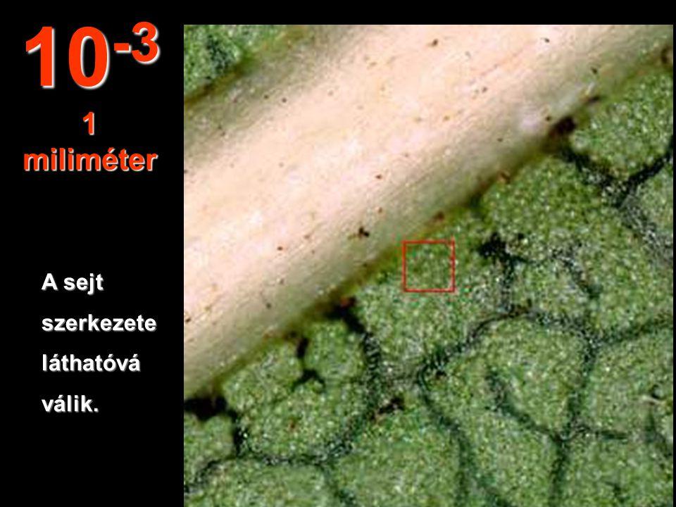 Ebből a távolságbóltanulmányozható a levelek szerkezete. 10 -2 1 centiméter
