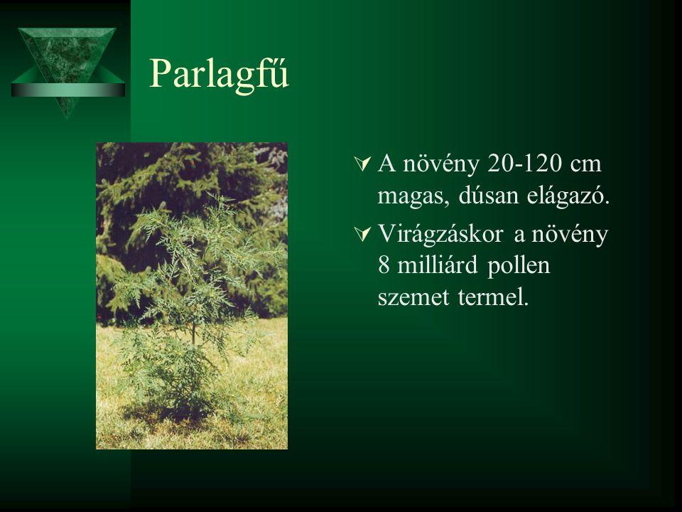 Parlagfű  A növény 20-120 cm magas, dúsan elágazó.  Virágzáskor a növény 8 milliárd pollen szemet termel.