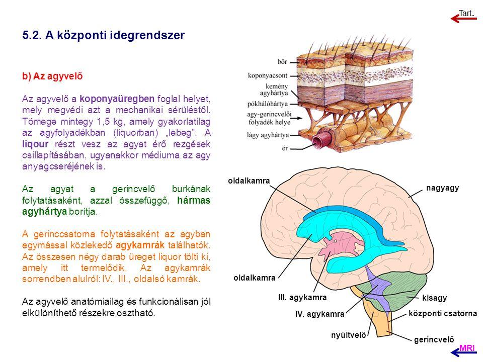 5.2. A központi idegrendszer b) Az agyvelő Az agyvelő a koponyaüregben foglal helyet, mely megvédi azt a mechanikai sérüléstől. Tömege mintegy 1,5 kg,