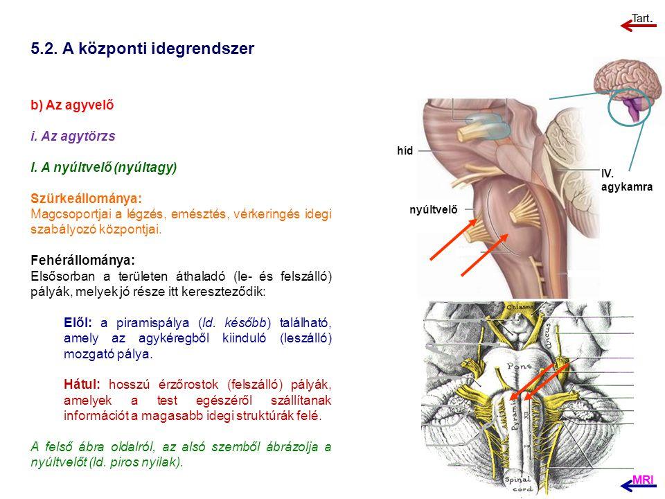 5.2. A központi idegrendszer b) Az agyvelő i. Az agytörzs I. A nyúltvelő (nyúltagy) Szürkeállománya: Magcsoportjai a légzés, emésztés, vérkeringés ide