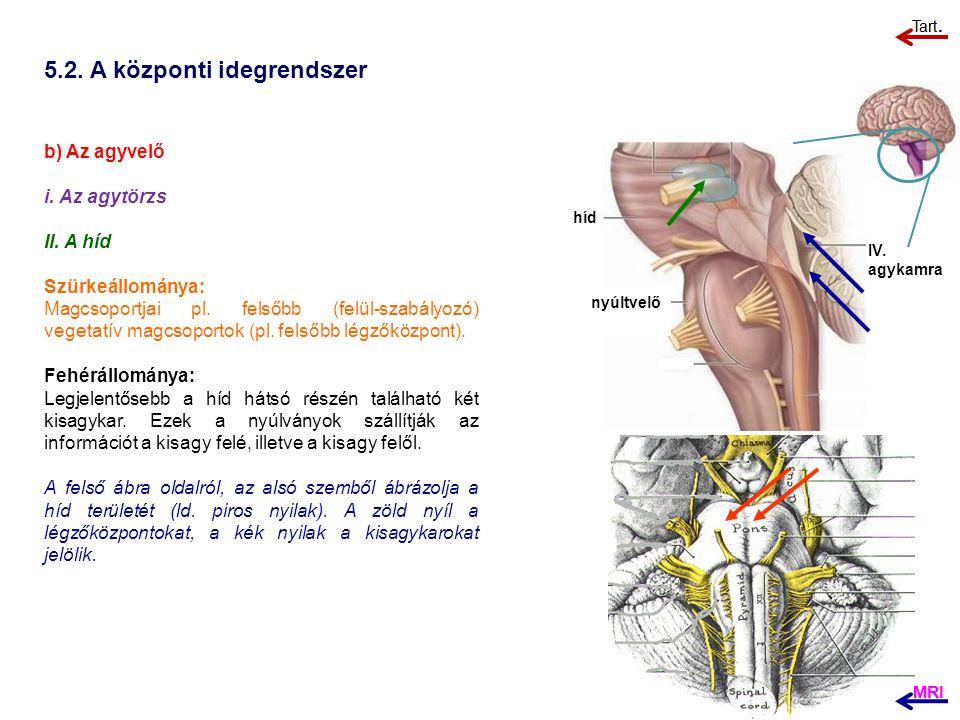 5.2. A központi idegrendszer b) Az agyvelő i. Az agytörzs II. A híd Szürkeállománya: Magcsoportjai pl. felsőbb (felül-szabályozó) vegetatív magcsoport