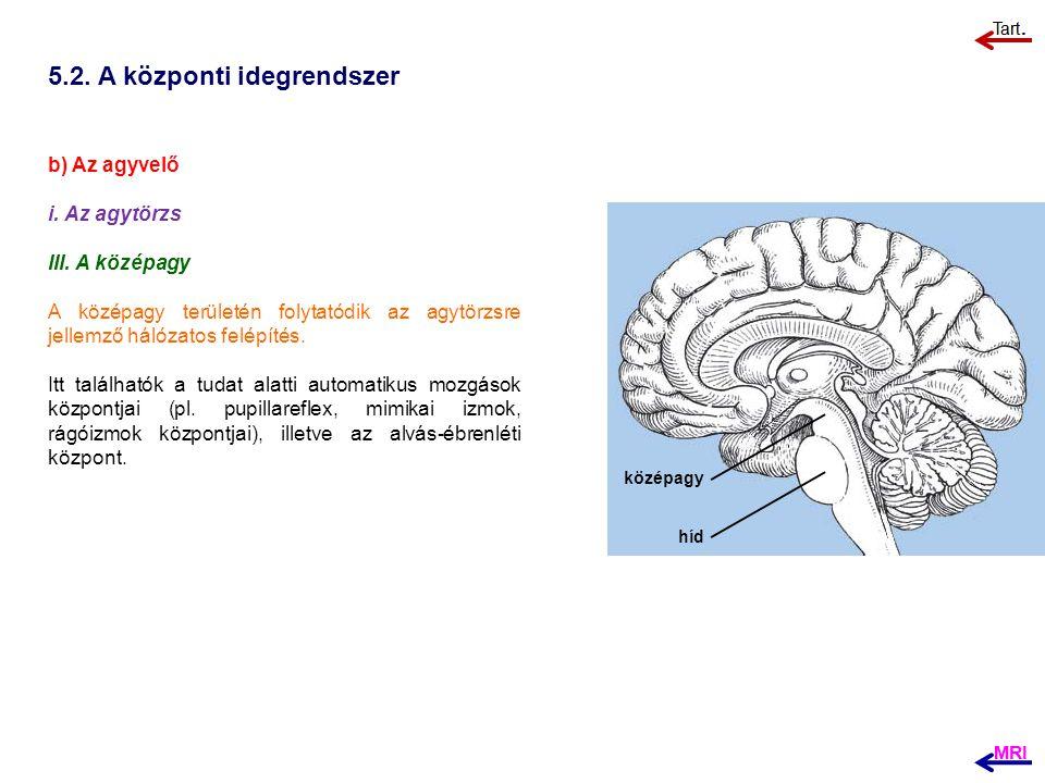 5.2. A központi idegrendszer b) Az agyvelő i. Az agytörzs III. A középagy A középagy területén folytatódik az agytörzsre jellemző hálózatos felépítés.