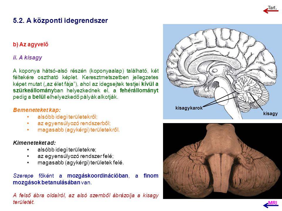 5.2. A központi idegrendszer b) Az agyvelő ii. A kisagy A koponya hátsó-alsó részén (koponyaalap) található, két féltekére osztható képlet. Keresztmet