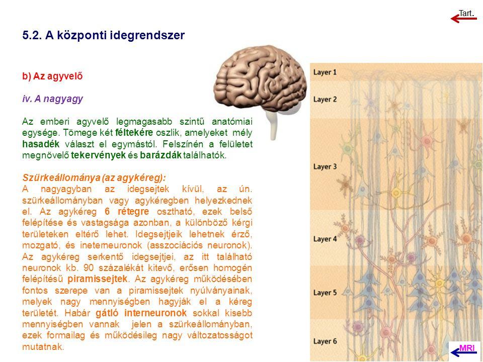 5.2. A központi idegrendszer b) Az agyvelő iv. A nagyagy Az emberi agyvelő legmagasabb szintű anatómiai egysége. Tömege két féltekére oszlik, amelyeke