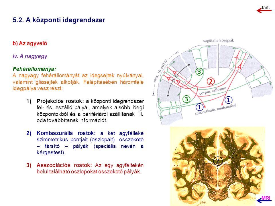 5.2. A központi idegrendszer b) Az agyvelő iv. A nagyagy Fehérállománya: A nagyagy fehérállományát az idegsejtek nyúlványai, valamint gliasejtek alkot