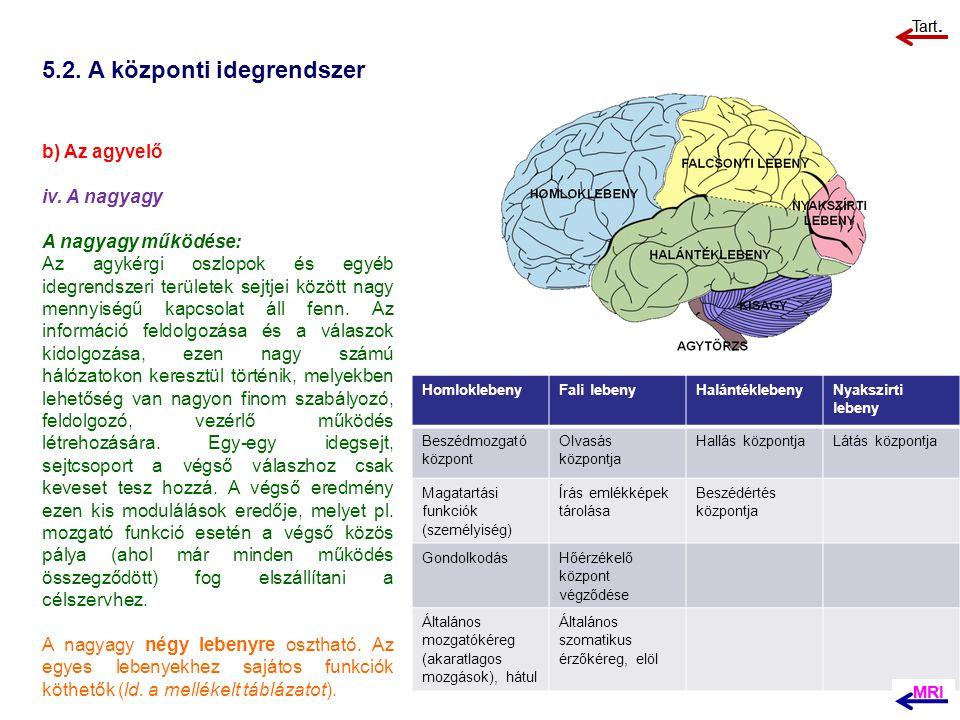 5.2. A központi idegrendszer b) Az agyvelő iv. A nagyagy A nagyagy működése: Az agykérgi oszlopok és egyéb idegrendszeri területek sejtjei között nagy