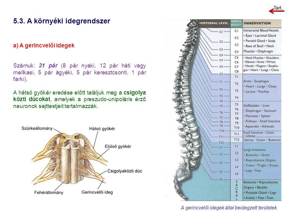 5.3. A környéki idegrendszer a) A gerincvelői idegek Számuk: 31 pár (8 pár nyaki, 12 pár háti vagy mellkasi, 5 pár ágyéki, 5 pár keresztcsonti, 1 pár