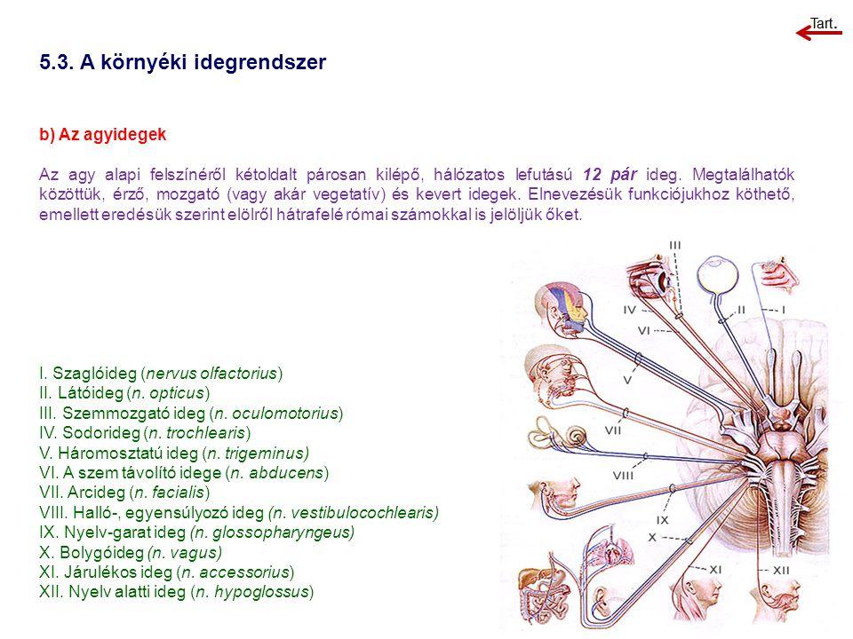 5.3. A környéki idegrendszer b) Az agyidegek Az agy alapi felszínéről kétoldalt párosan kilépő, hálózatos lefutású 12 pár ideg. Megtalálhatók közöttük