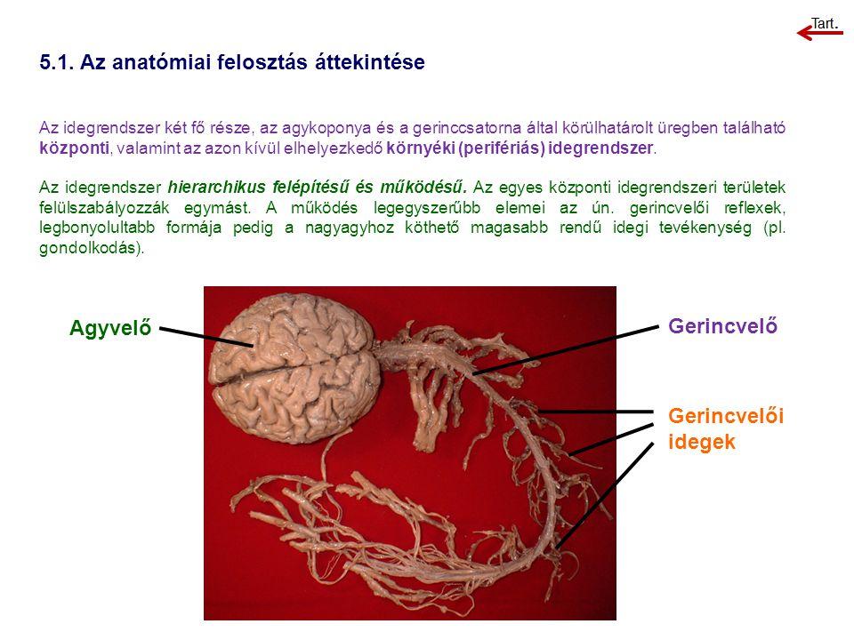 5.1. Az anatómiai felosztás áttekintése Agyvelő Gerincvelő Gerincvelői idegek Az idegrendszer két fő része, az agykoponya és a gerinccsatorna által kö