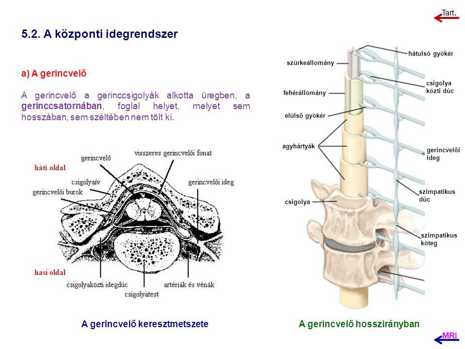 5.2. A központi idegrendszer a) A gerincvelő A gerincvelő a gerinccsigolyák alkotta üregben, a gerinccsatornában, foglal helyet, melyet sem hosszában,