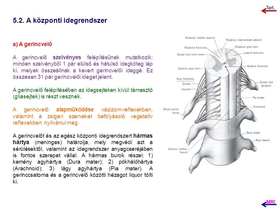 5.2. A központi idegrendszer a) A gerincvelő A gerincvelő szelvényes felépítésűnek mutatkozik: minden szelvényből 1 pár elülső és hátulsó idegköteg lé