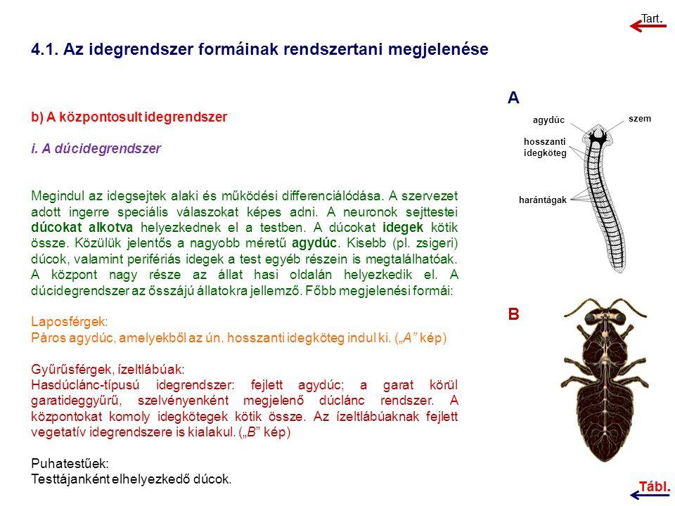 4.1.Az idegrendszer formáinak rendszertani megjelenése b) A központosult idegrendszer i.