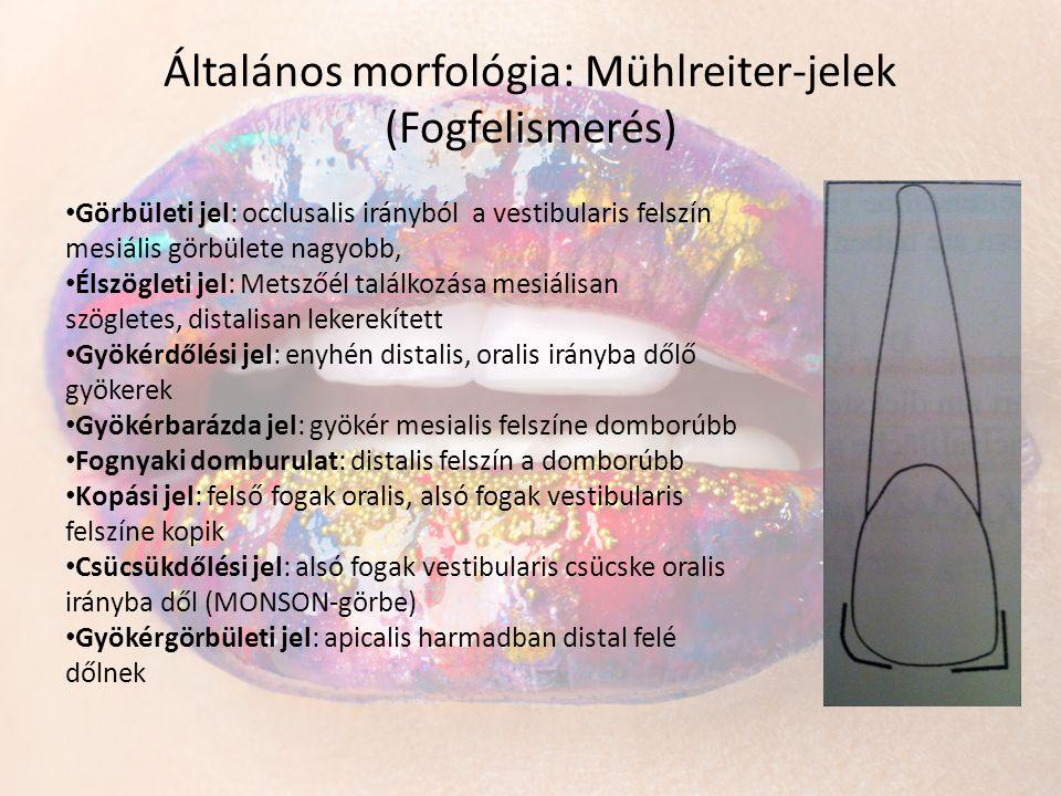 Általános morfológia: Mühlreiter-jelek (Fogfelismerés) • Görbületi jel: occlusalis irányból a vestibularis felszín mesiális görbülete nagyobb, • Élszö