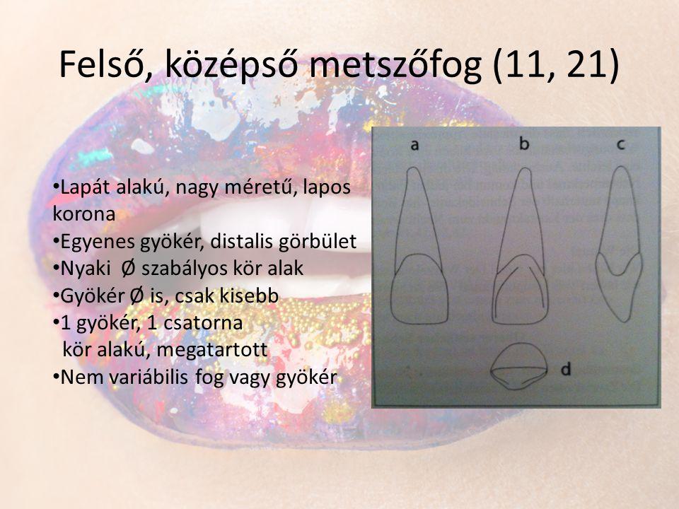 Felső, középső metszőfog (11, 21) • Lapát alakú, nagy méretű, lapos korona • Egyenes gyökér, distalis görbület • Nyaki Ø szabályos kör alak • Gyökér Ø