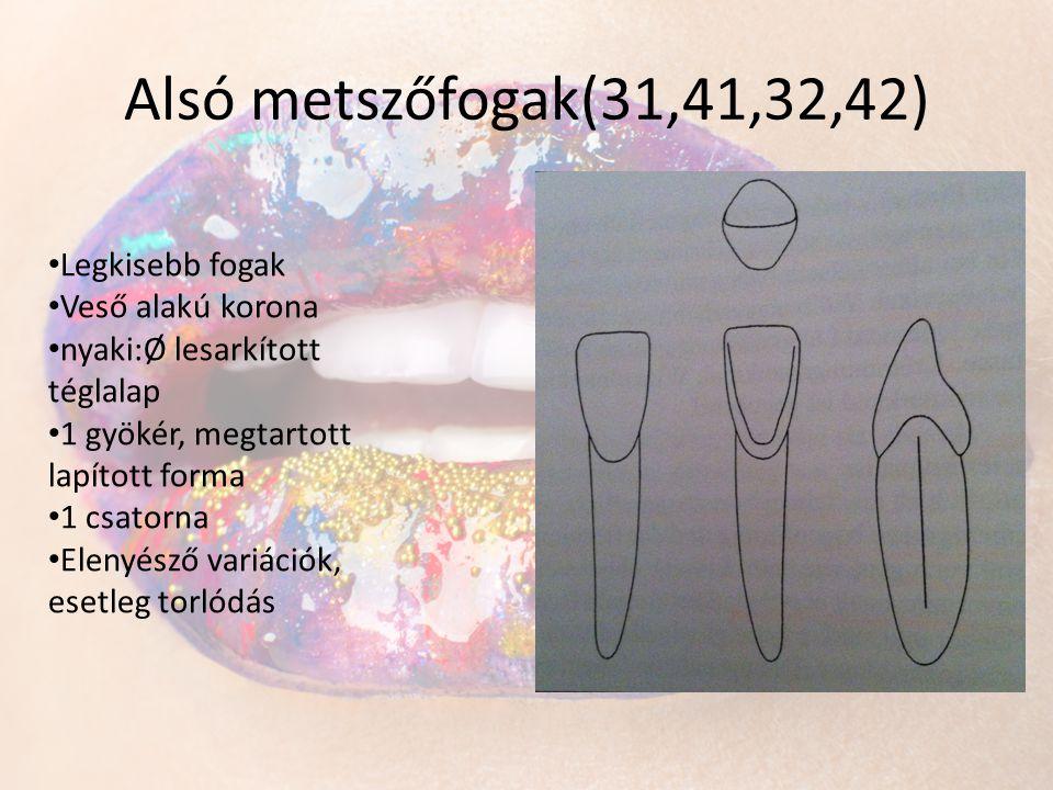 Alsó metszőfogak(31,41,32,42) • Legkisebb fogak • Veső alakú korona • nyaki:Ø lesarkított téglalap • 1 gyökér, megtartott lapított forma • 1 csatorna