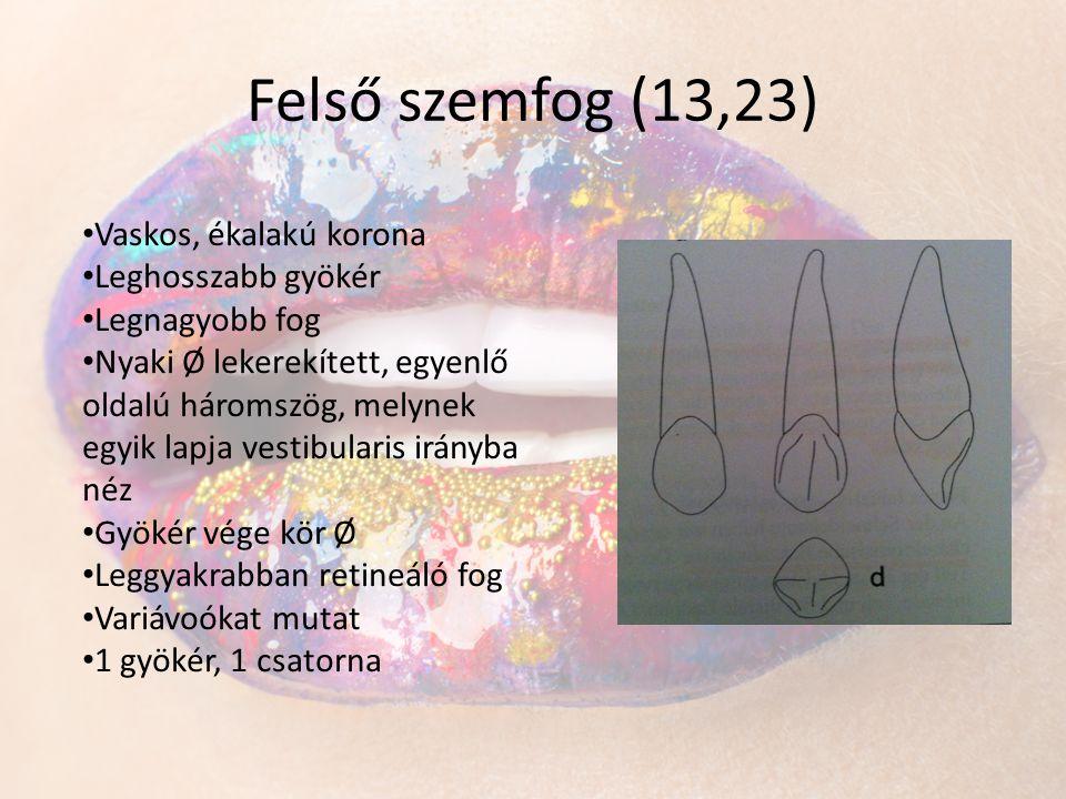 Felső szemfog (13,23) • Vaskos, ékalakú korona • Leghosszabb gyökér • Legnagyobb fog • Nyaki Ø lekerekített, egyenlő oldalú háromszög, melynek egyik l